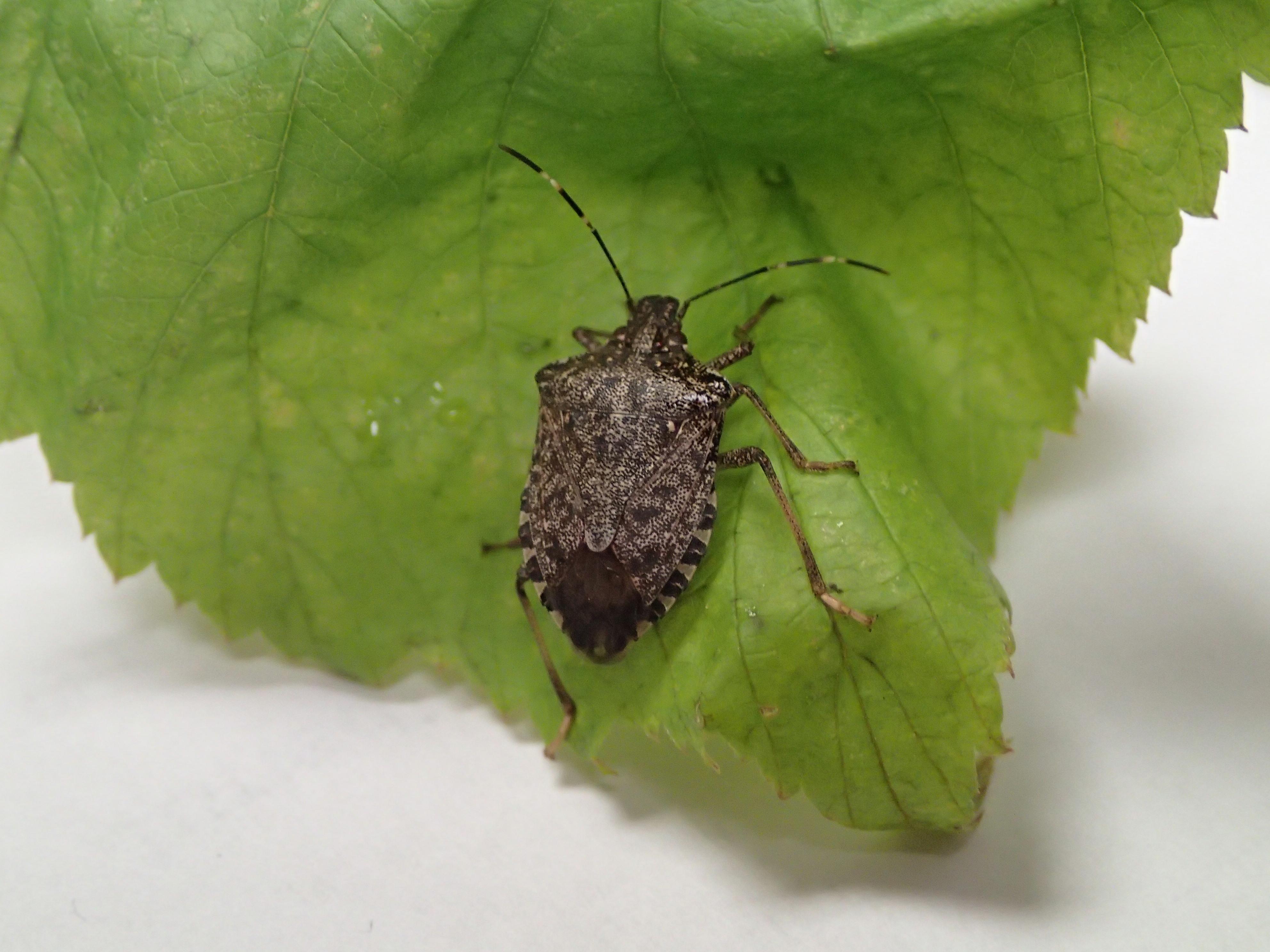 Apple-Stink bug | Pacific Northwest Pest Management Handbooks
