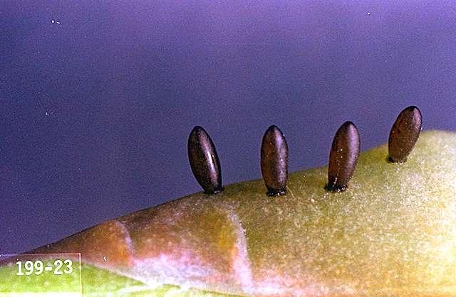 Asparagus Beetle Control: Asparagus-Asparagus Beetle