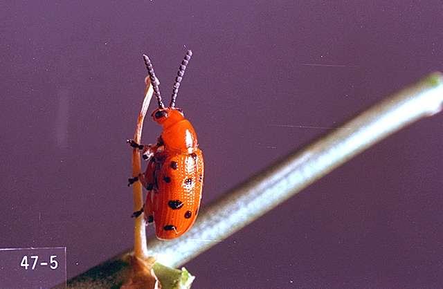 Asparagus Beetle Control: Asparagus-Spotted Asparagus Beetle