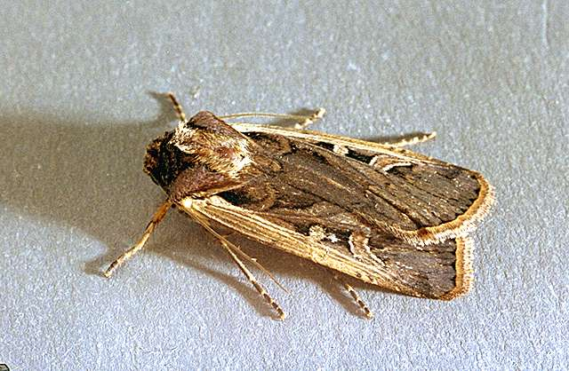 image related to corn sweet western bean cutworm
