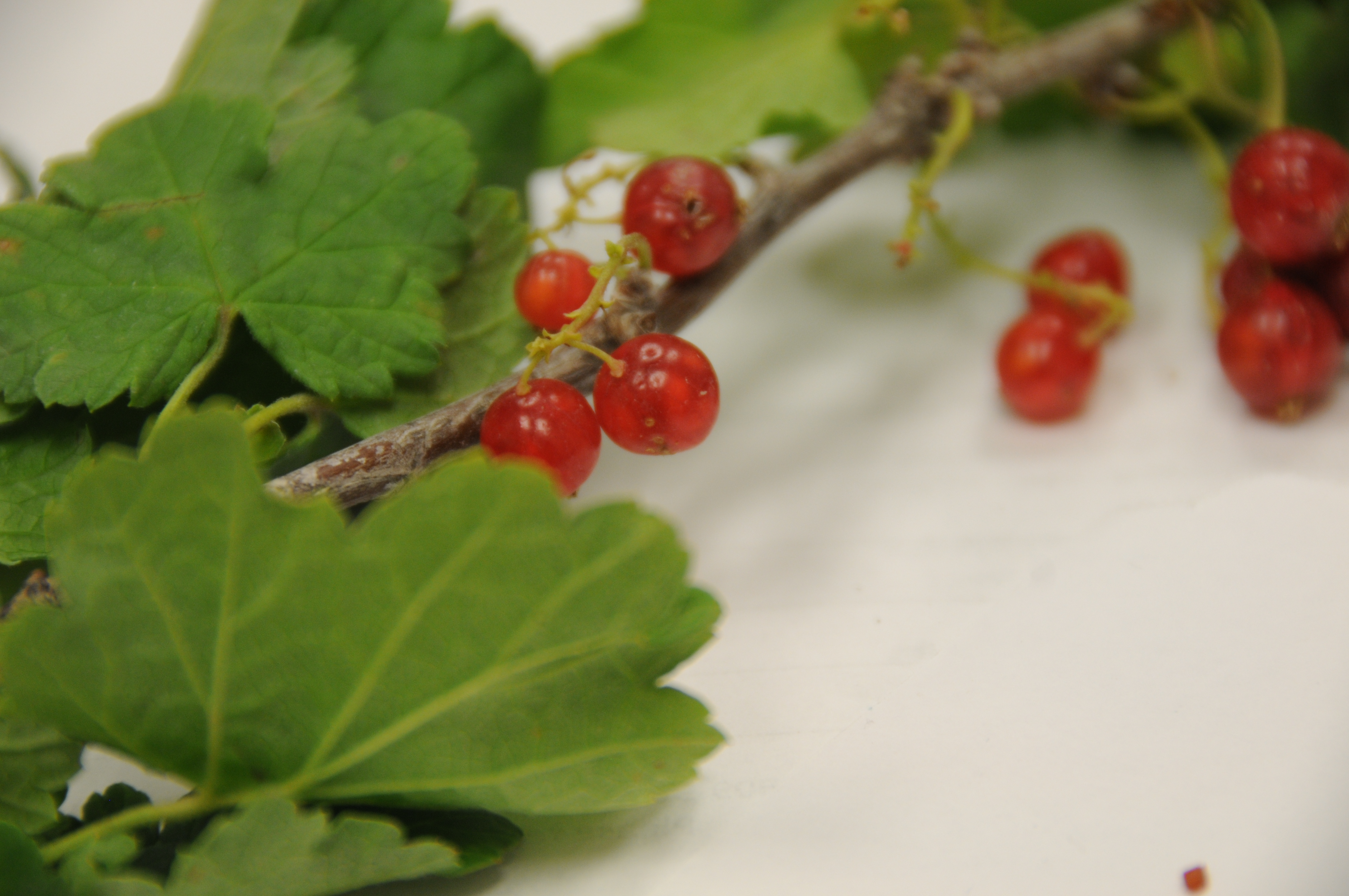 Currant And Gooseberry Currant Fruit Fly Gooseberry