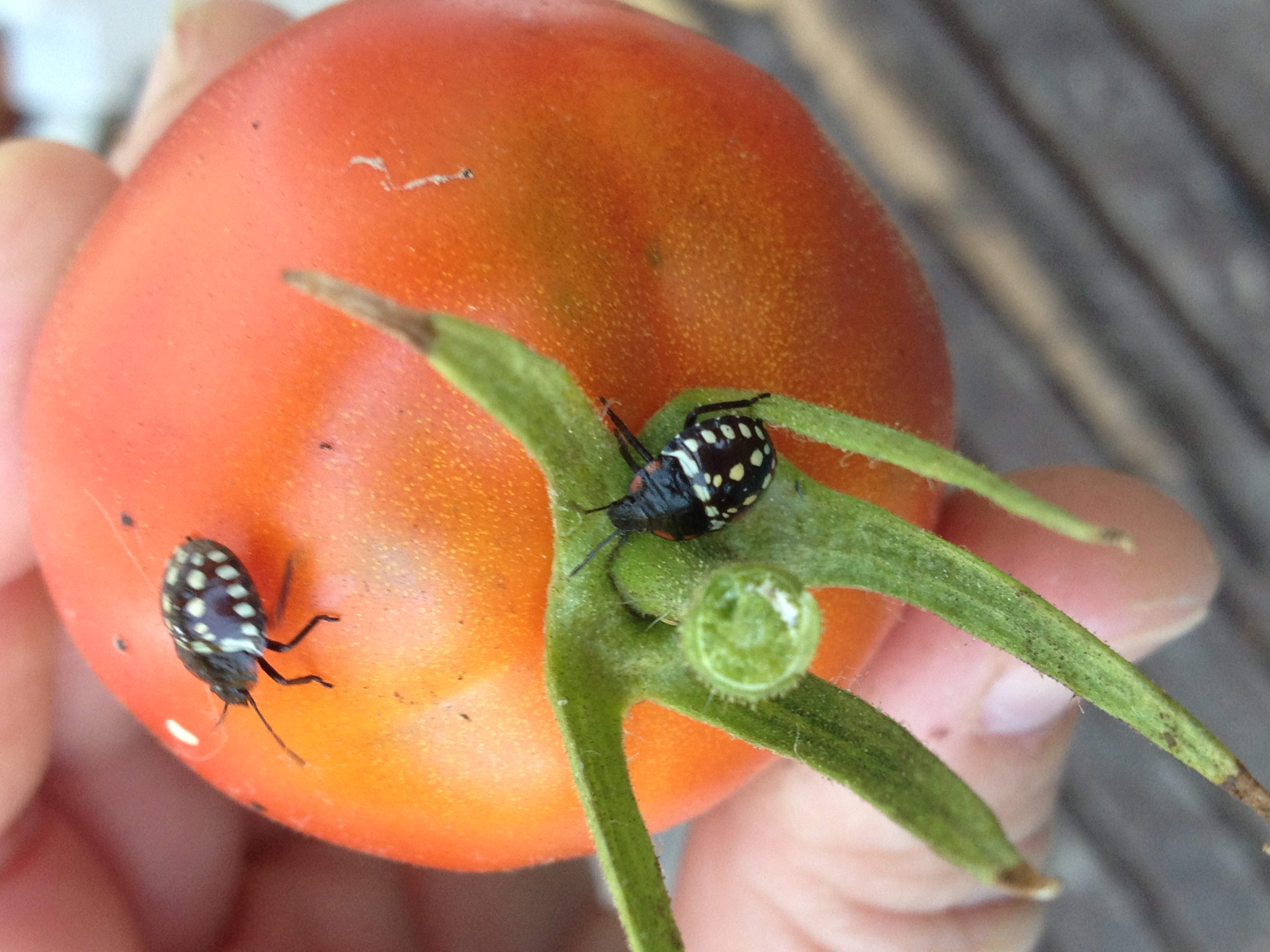 Emerging Pests in Pacific Northwest Ornamentals | Pacific Northwest