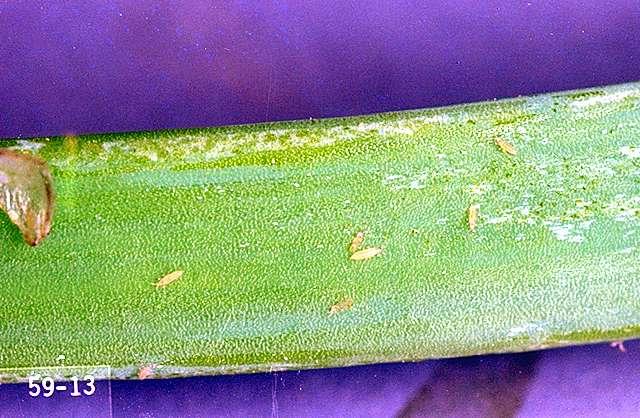Garlic-Thrips   Pacific Northwest Pest Management Handbooks