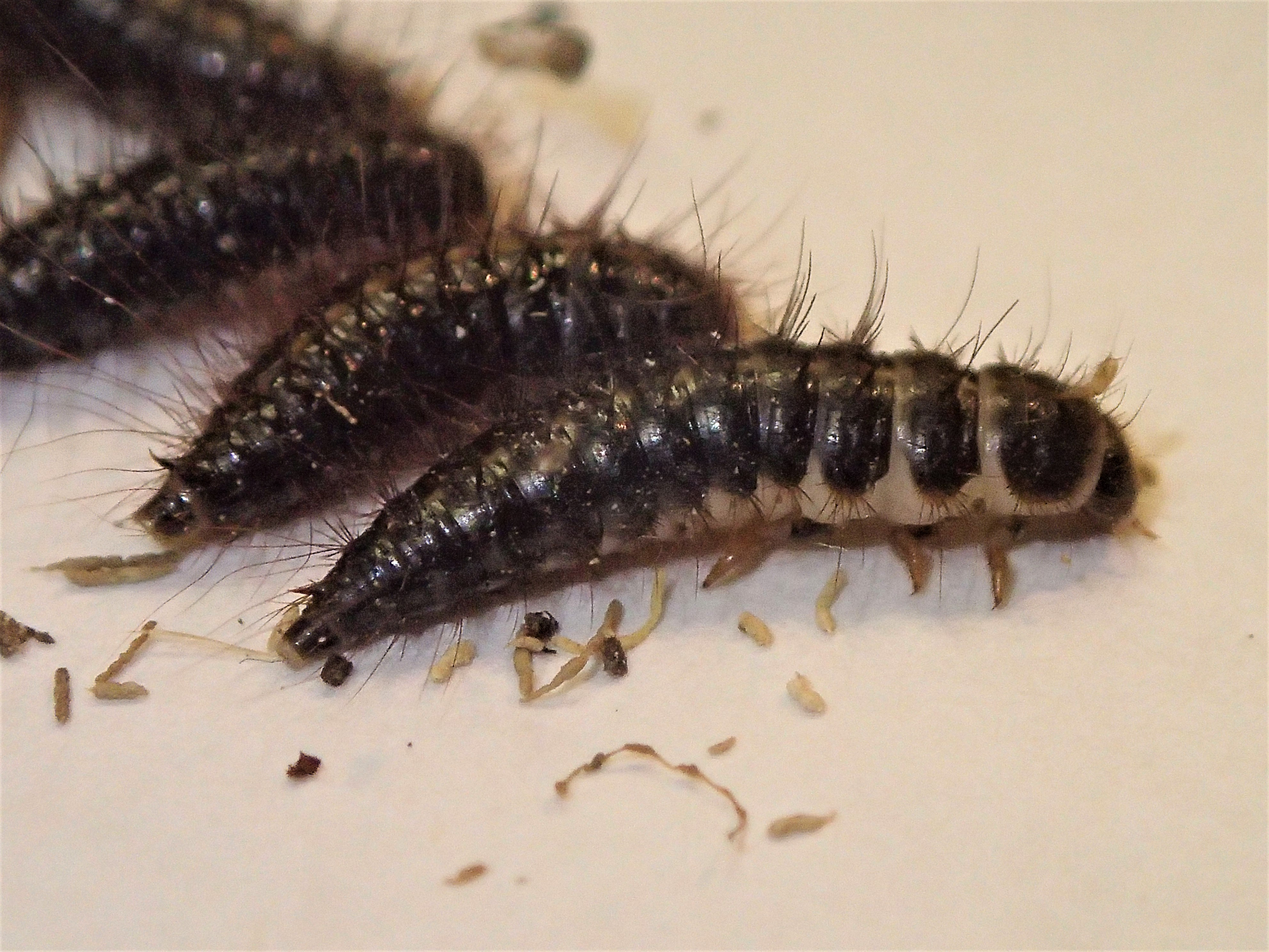 Nuisance and household pests-Carpet beetle and hide beetle