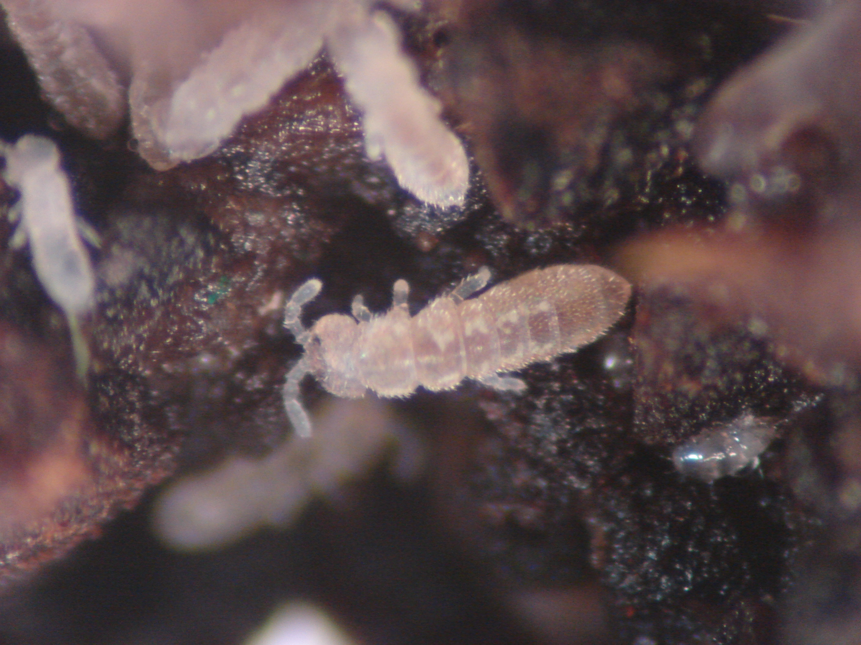 Nuisance and household pests-Springtail | Pacific Northwest