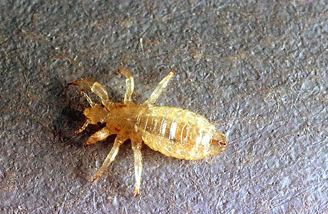 Public health pests human lice pacific northwest pest management image related to public health pests human lice body louse ccuart Gallery
