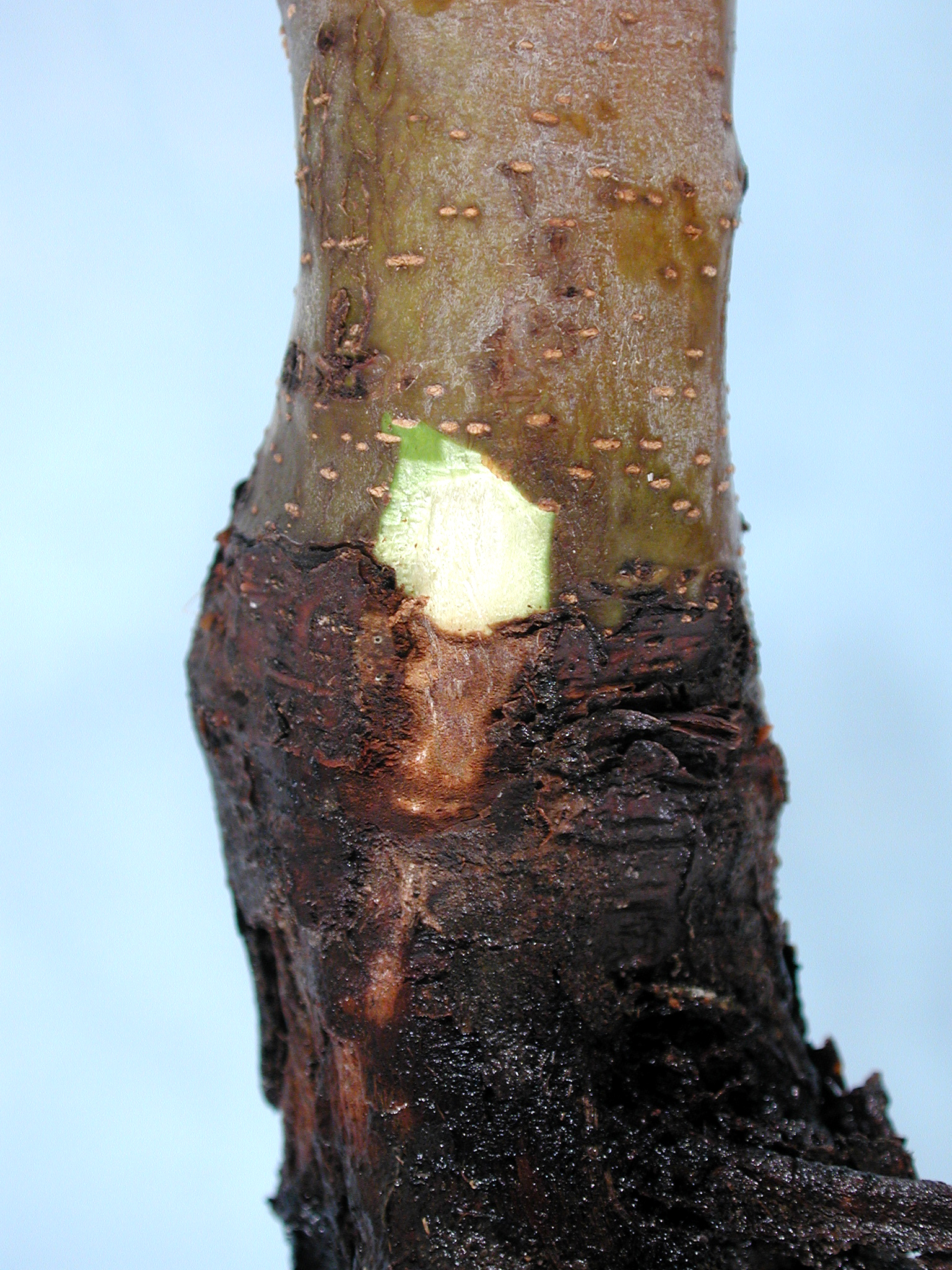 Apple (Malus spp.)-Crown and Collar Rot | Pacific ...