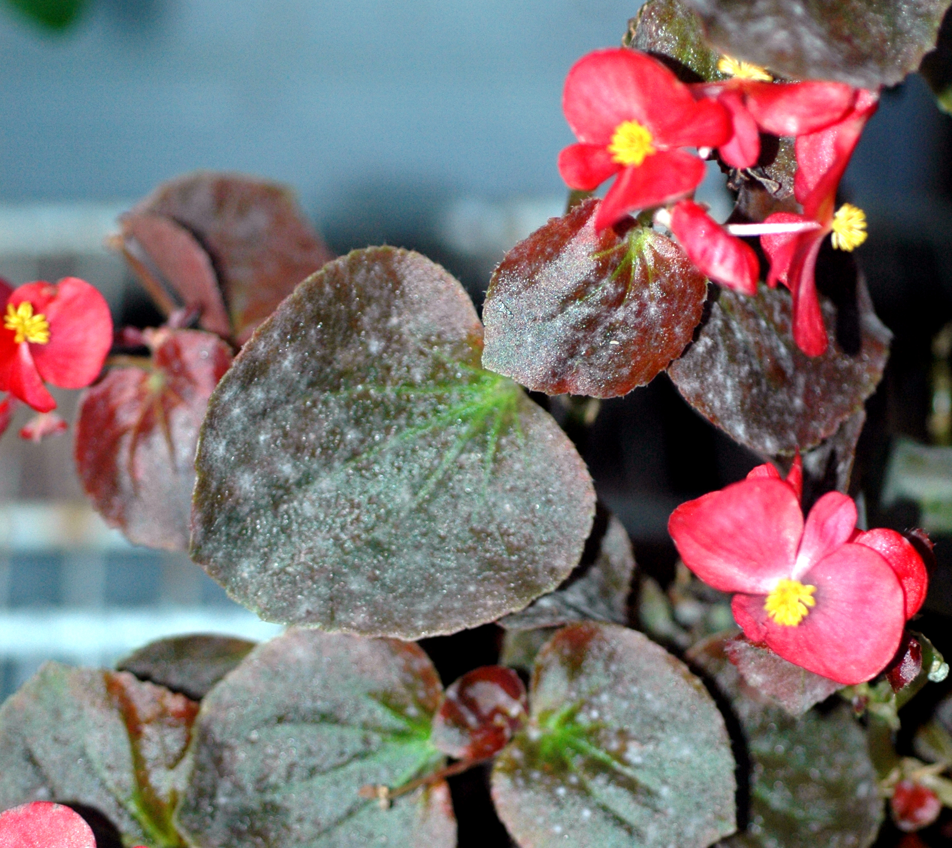 Home begonia - pests, diseases and their treatment 49