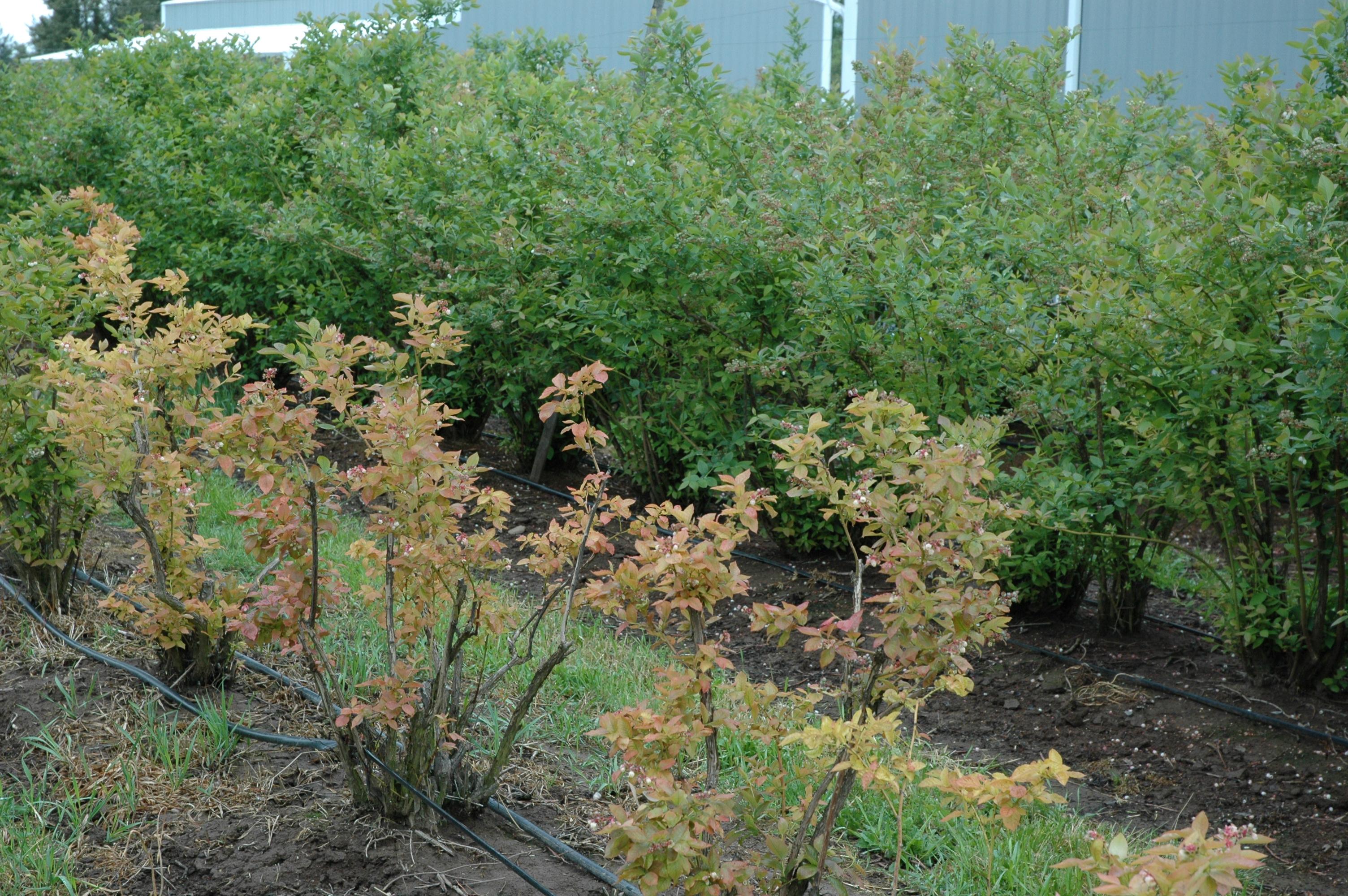 Blueberry (Vaccinium corymbosum)-Incorrect soil pH   Pacific