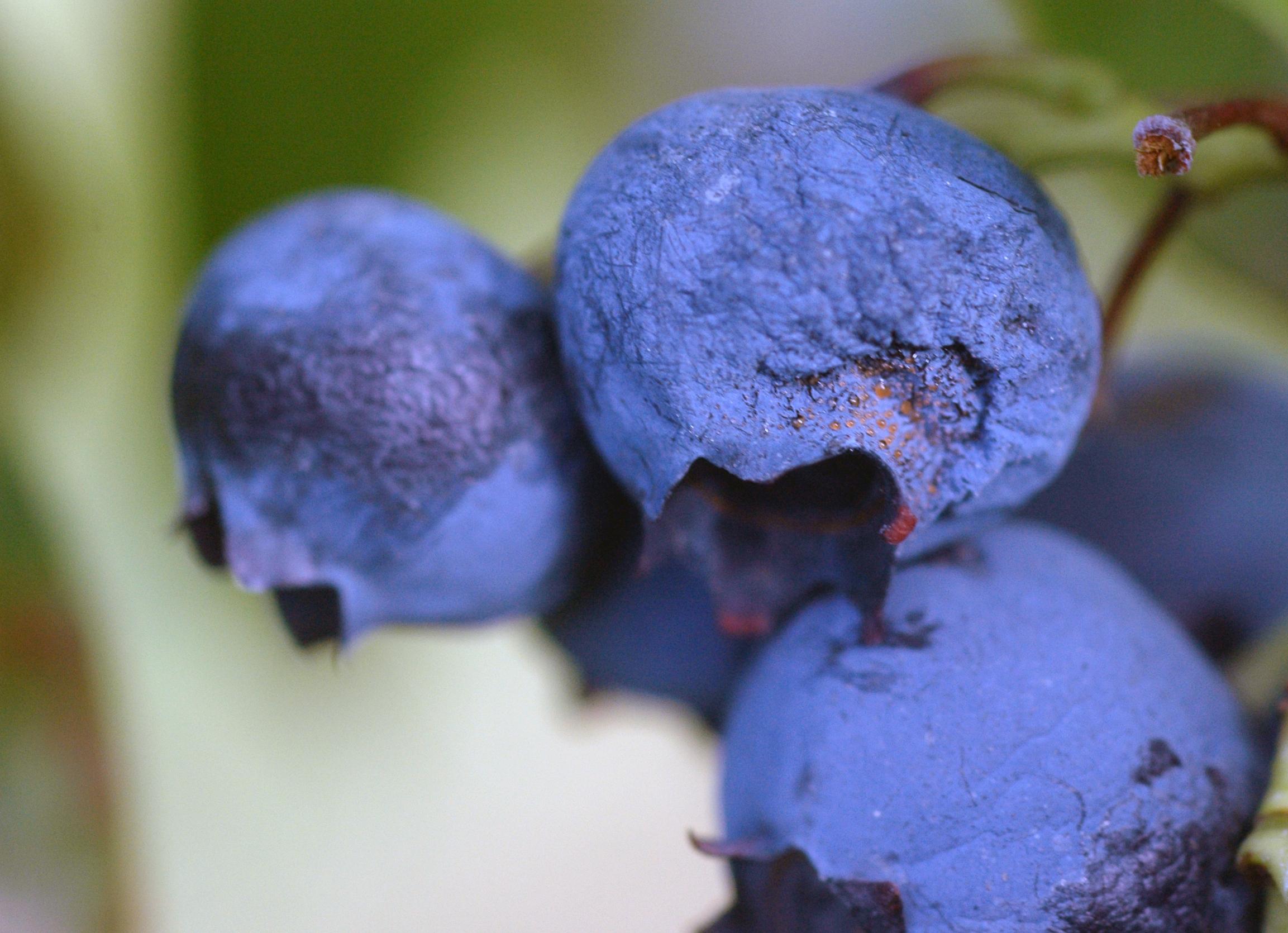 Blueberry Vaccinium Corymbosum Ripe Rot Anthracnose
