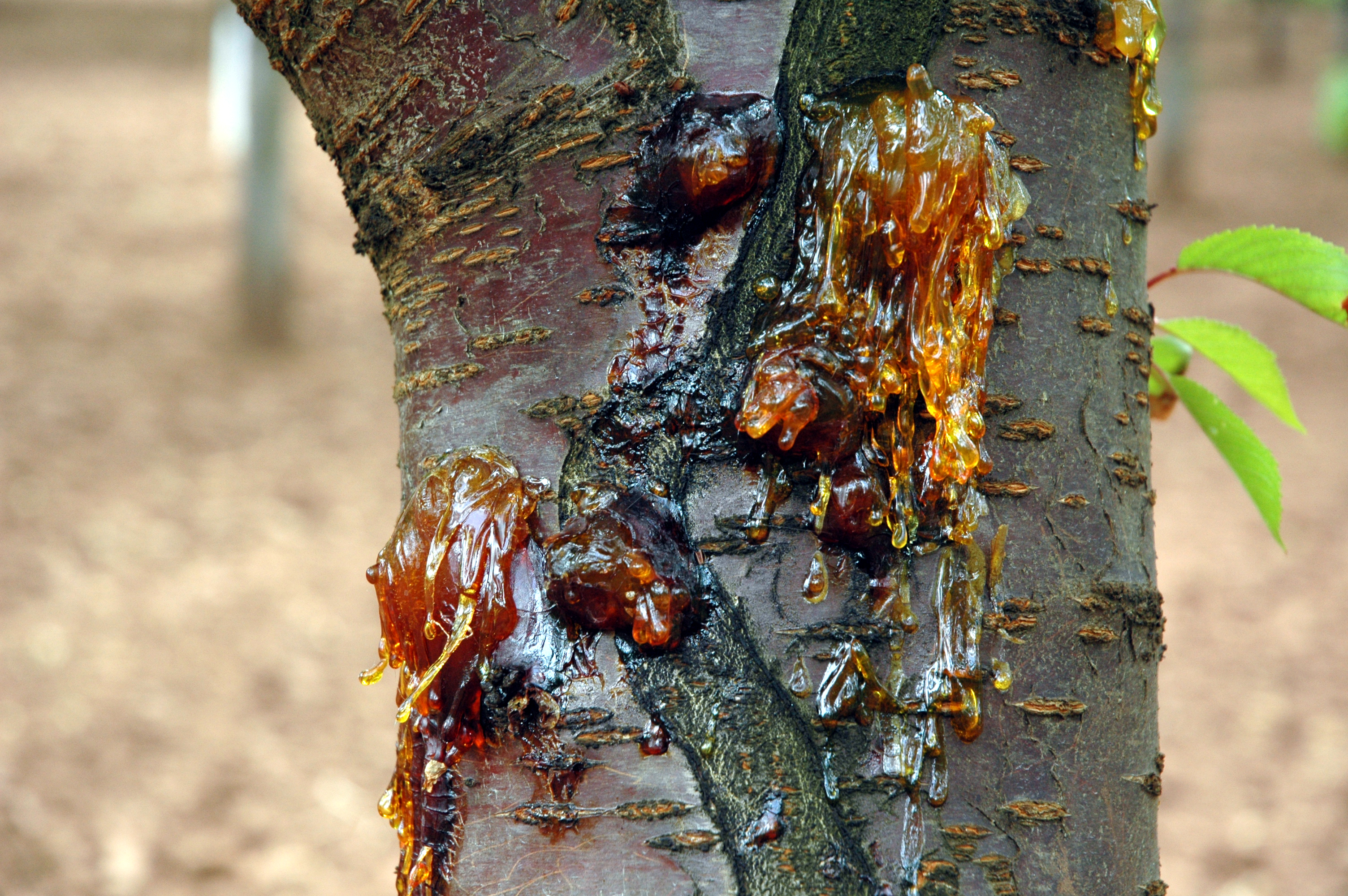 Image Related To Cherry Prunus Spp Bacterial Canker