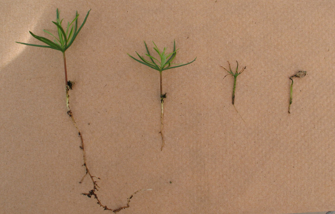 Image Related To Damping Off In Tree Nurseries
