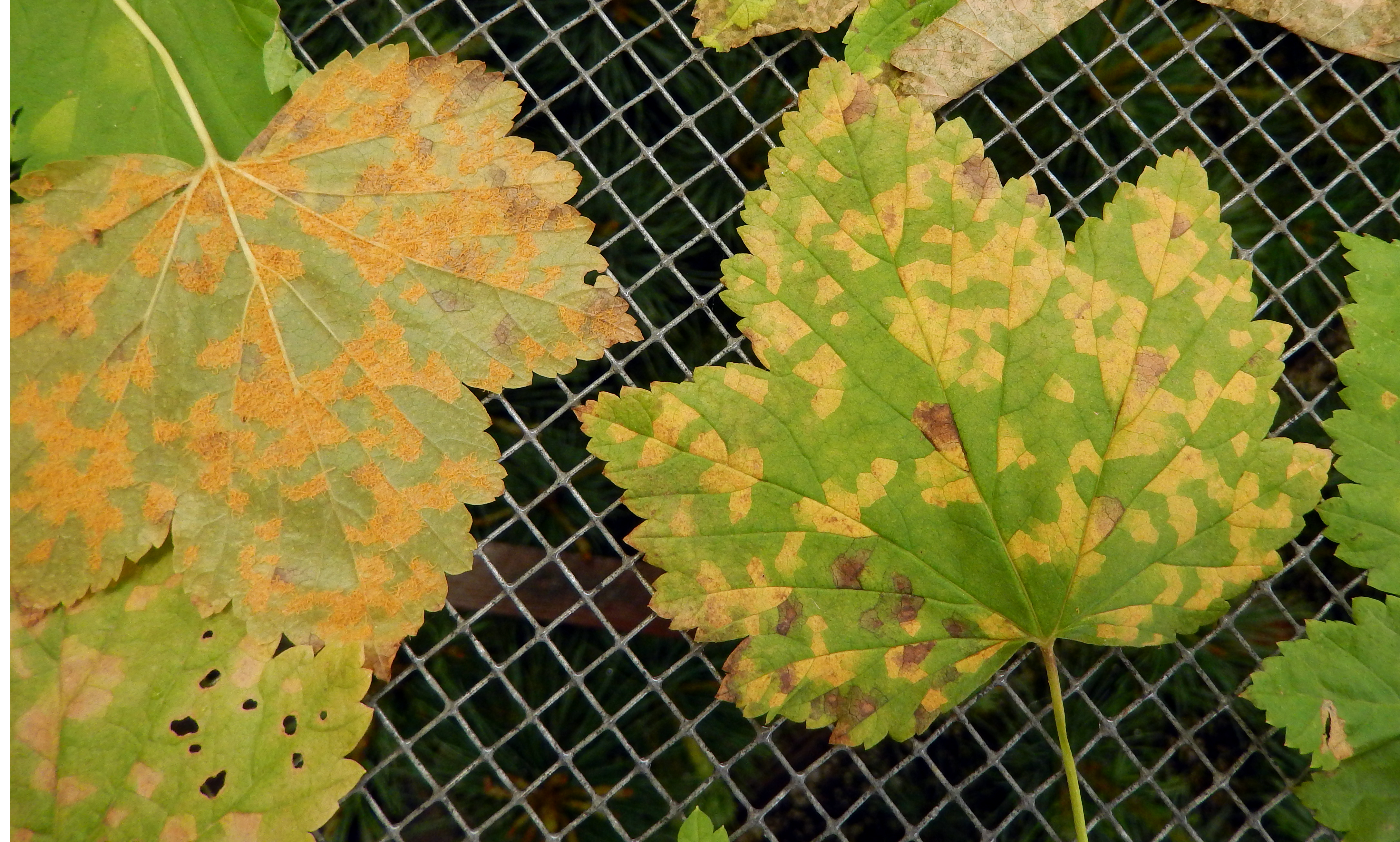 Gooseberry And Currant Ribes Spp Blister Rust Pacific Northwest