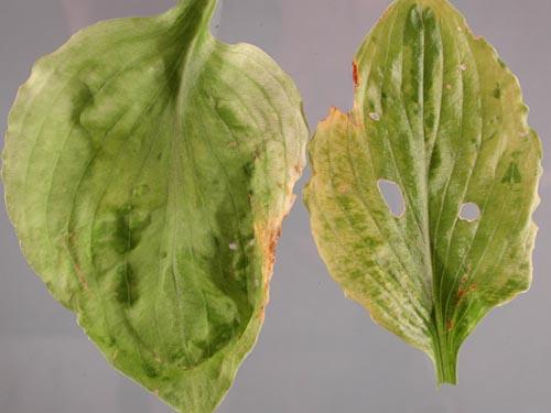 Hosta Viruses Pacific Northwest Pest Management Handbooks