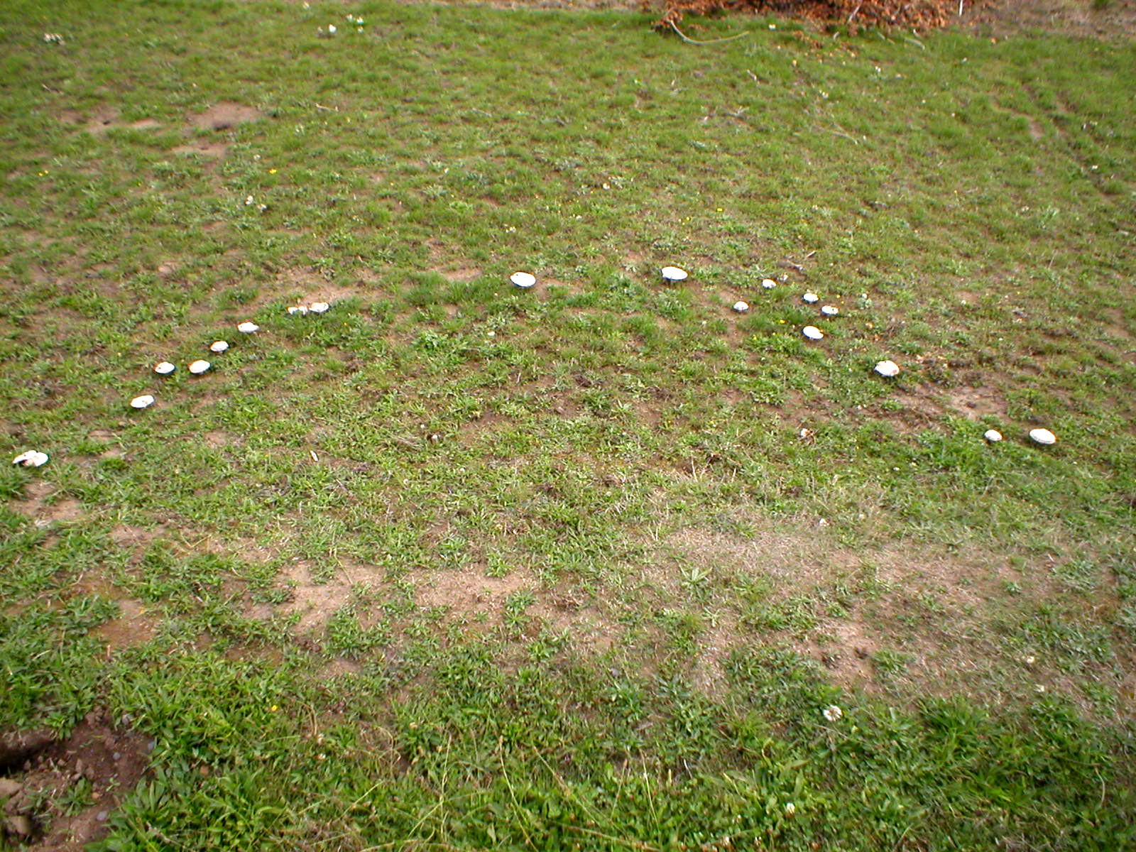 Ring Of Disease In Mushrooms
