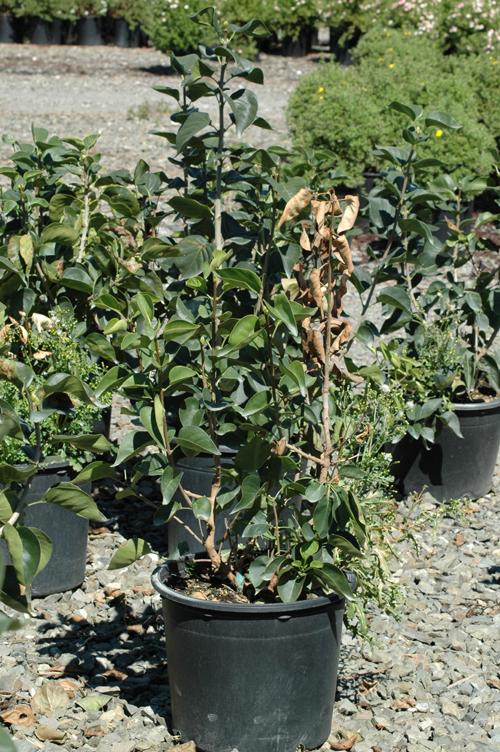 Lilac Syringa Spp Root Rot Pacific Northwest Pest