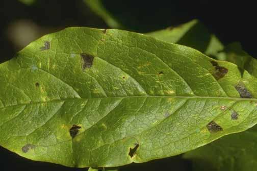 Magnolia Bacterial Blight Pacific Northwest Pest Management Handbooks