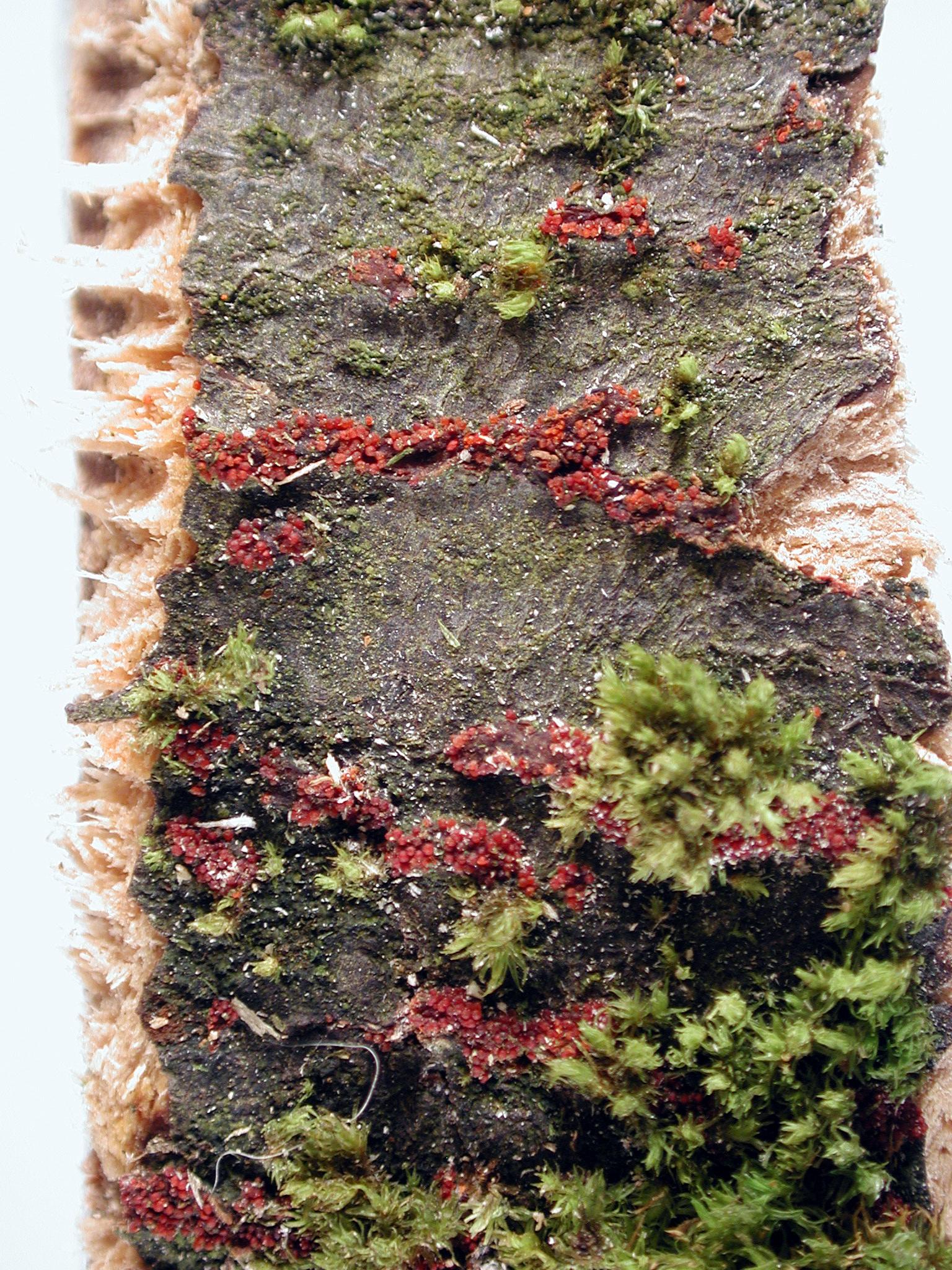 Maple (Acer spp )-Nectria Canker   Pacific Northwest Pest Management