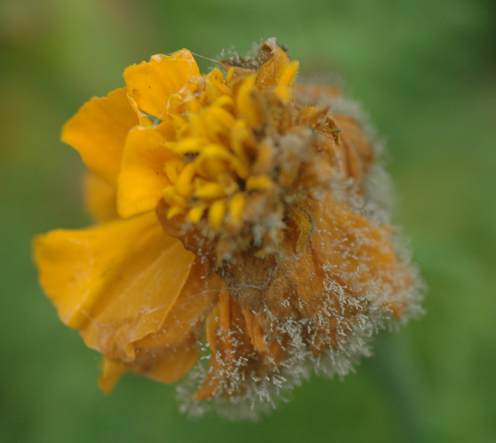 Marigold (Tagetes spp )-Botrytis Blight | Pacific Northwest Pest