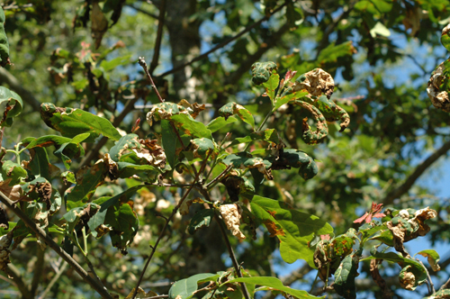 Image Related To Oak Quercus Spp Anthracnose