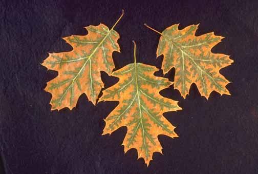 Oak Quercus Spp Leaf Scorch Pacific Northwest Pest