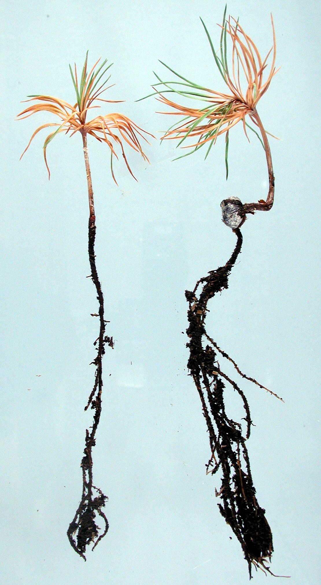 Pine Pinus Spp Damping Off Pacific Northwest Pest