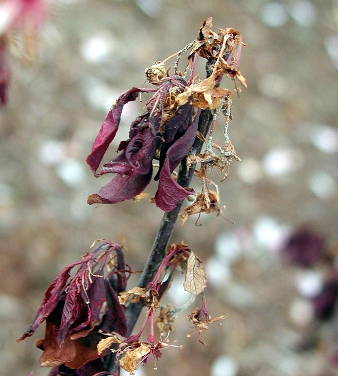 Flowering Brown Rot Blossom Blight