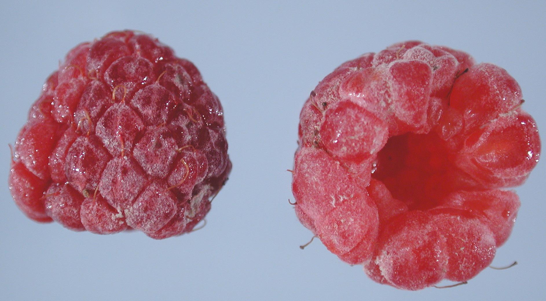Raspberry Rubus Spp Powdery Mildew Pacific Northwest