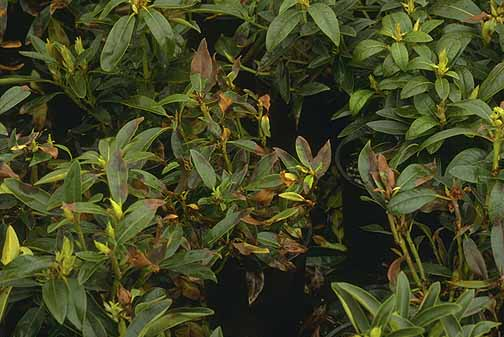Rhododendron-Phytophthora Blight and Dieback | Pacific Northwest