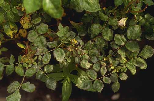Rose (Rosa spp ) and hybrids-Powdery Mildew | Pacific