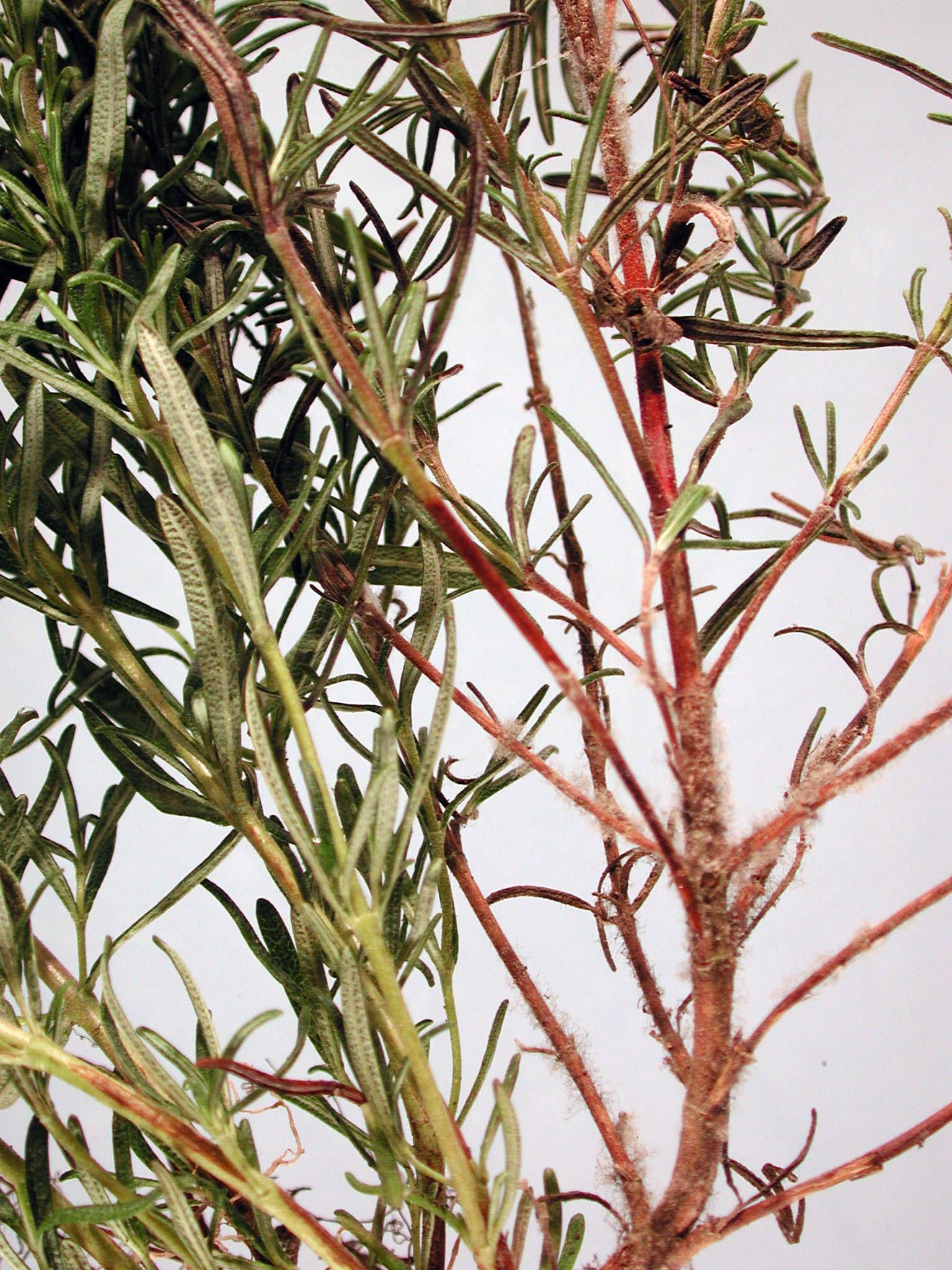 Garden Bush: Rosemary (Rosmarinus Officinalis)-Botrytis Stem Canker