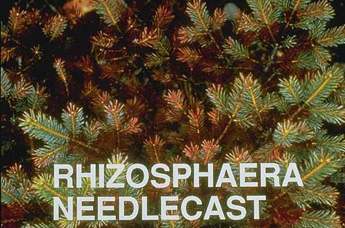 Image Related To Spruce Picea Spp Rhizosphaera Needle Cast