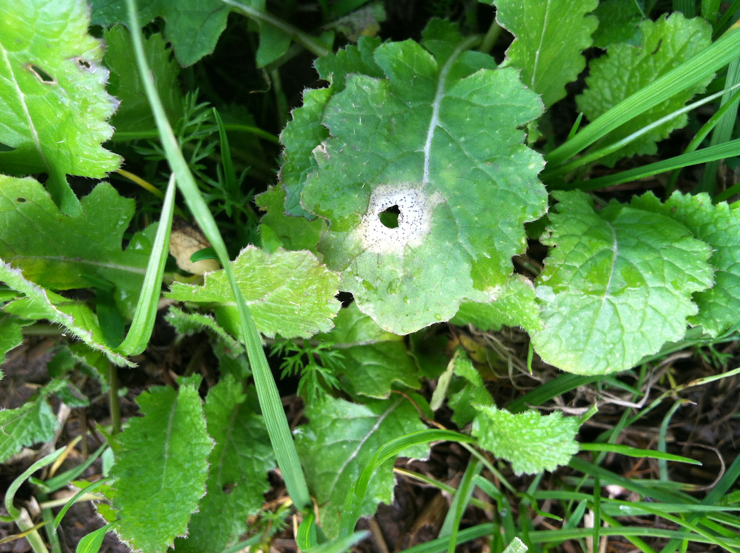 Turnip And Rutabaga Brassica Sp Black Leg Phoma Dry Rot