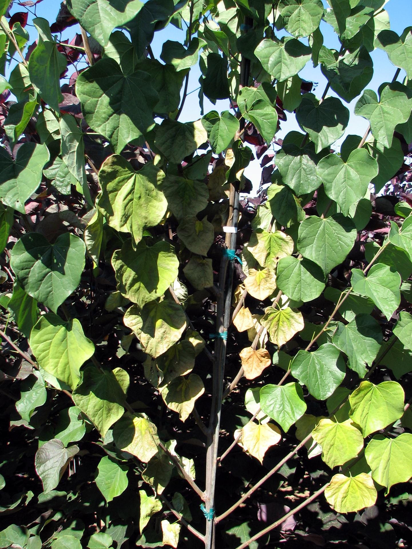 Image Related To Verticillium Wilt In The Pacific Northwest