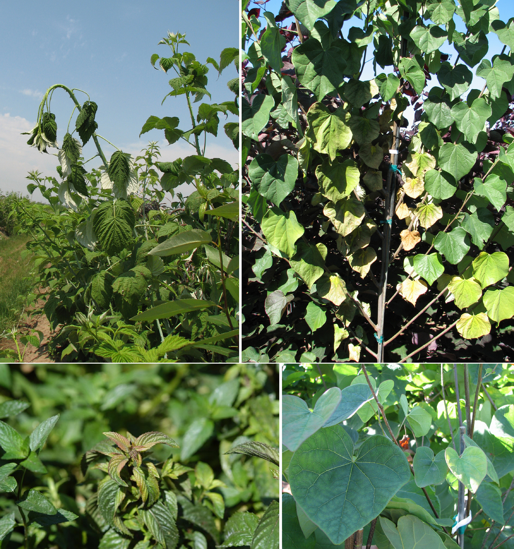 Why do black currants turn yellow leaves Causes of the disease, methods of treatment and prevention