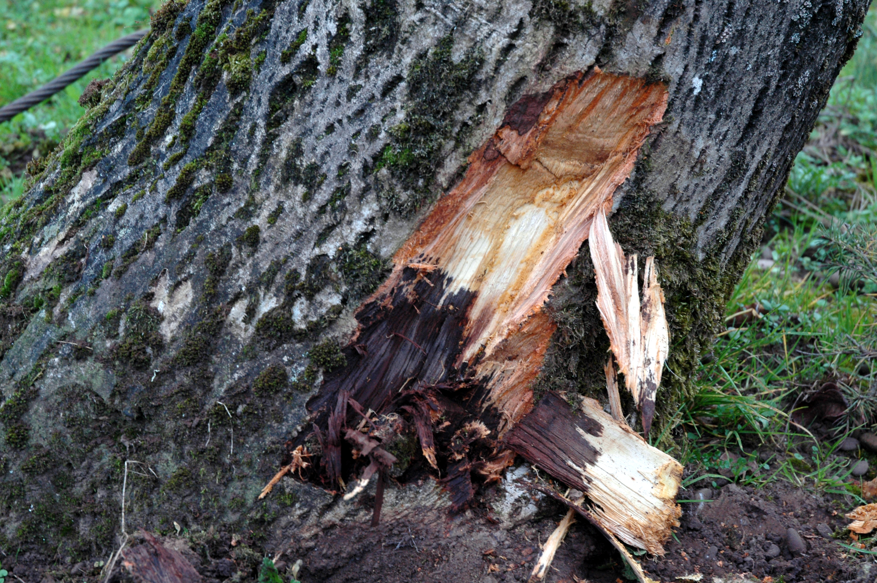 Walnut Juglans Spp Phytophthora Root Rot Pacific Northwest Pest
