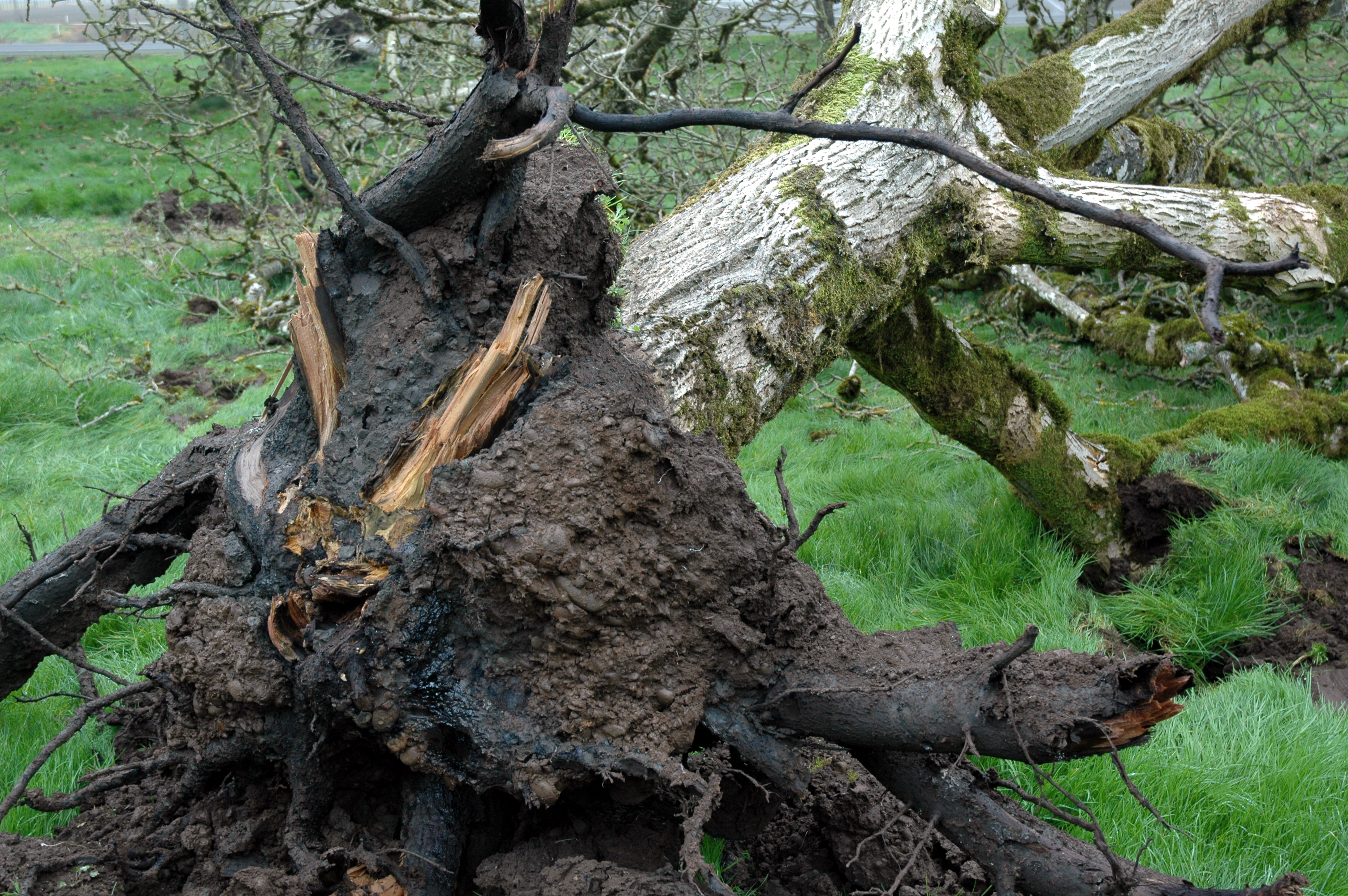 Image Related To Walnut Juglans Spp Phytophthora Root Rot