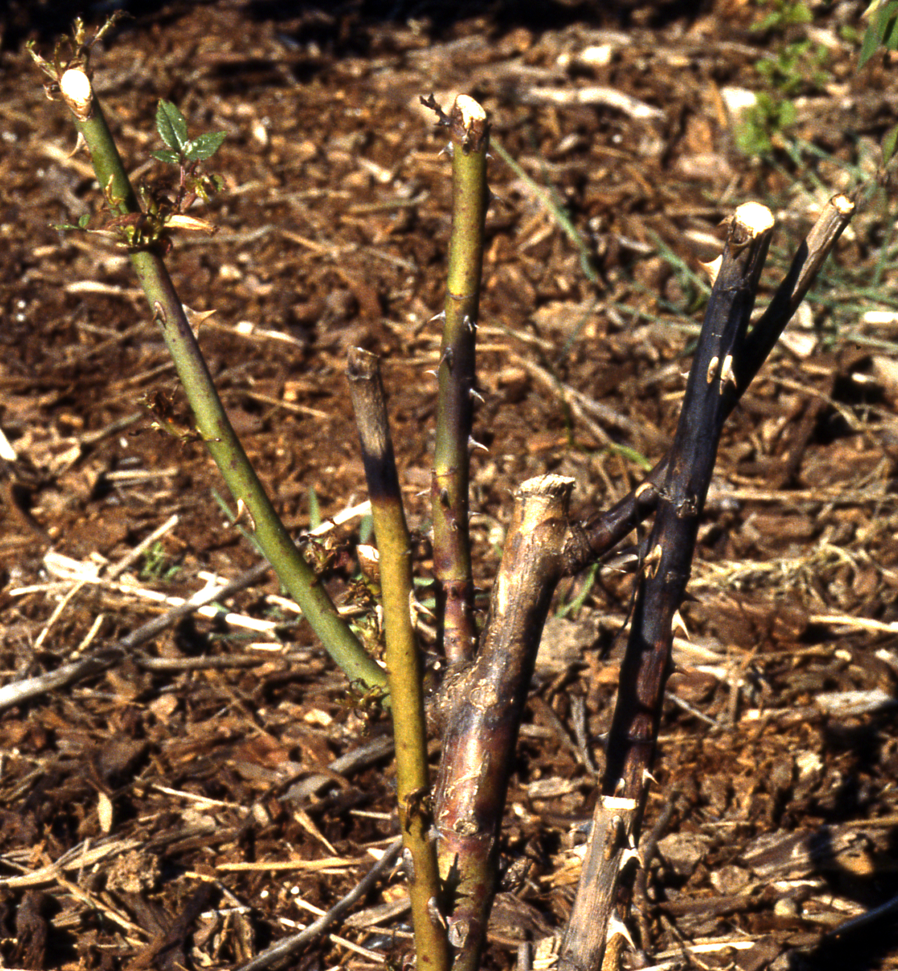 Winter Injury of Landscape Plants in the Pacific Northwest | Pacific ...