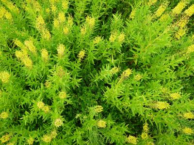 Photo of Yellow loosestrife growing in a cranberry bed