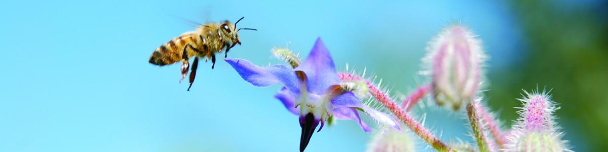 image of a honey bee (Apis melifera) pollinating a borage flower (Borago officinalis).