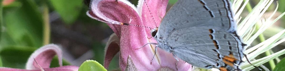 Yellow-faced bumble bee, Bombus vosnesenskii, and gray hairstreak, Strymon melinus, on clematis.
