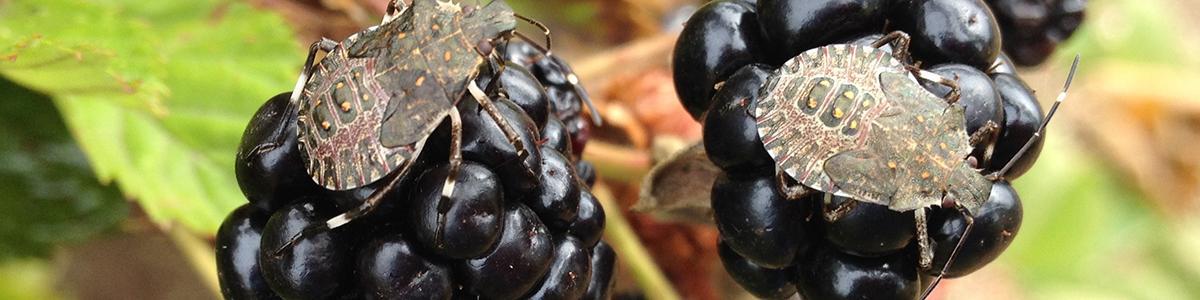 image of Brown marmorated stink bug nymphs (Halyomorpha halys) on 'PrimeArk45' primocane-fruiting blackberry fruit in September.