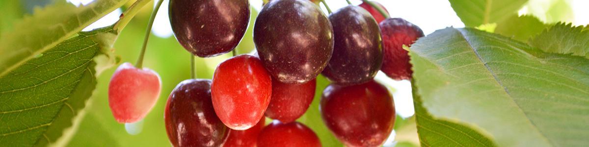 Photo of cherries with X-disease