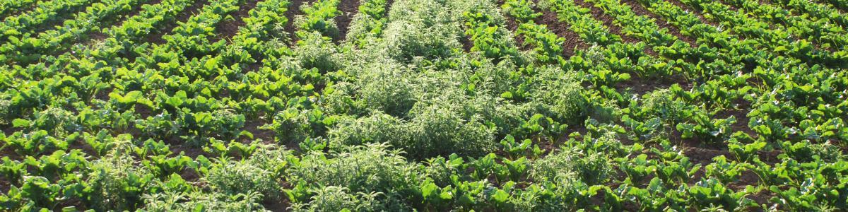 Image of kochia seedlings in a sugar beet field