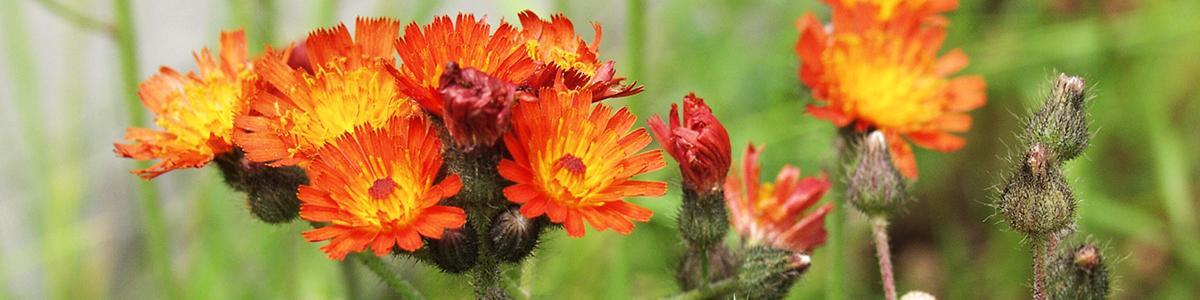 Photo of orange hawkweed flowers and seeds
