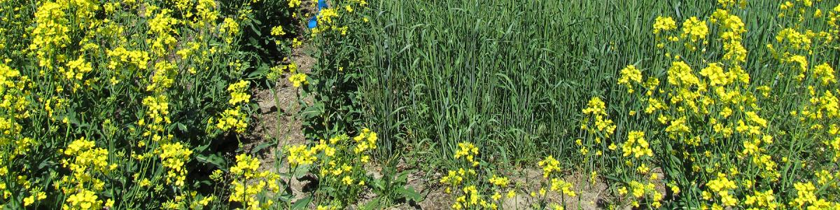 Image of Winter canola controlling feral rye