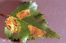Image related to Alder (Alnus)-Leafminer
