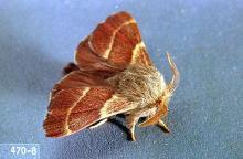 Image related to Alder (Alnus)-Western tent caterpillar