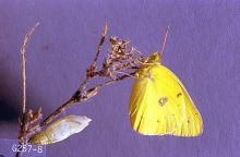 Image related to Alfalfa hay-Alfalfa caterpillar