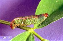 Image related to Alfalfa hay-Clover leaf weevil